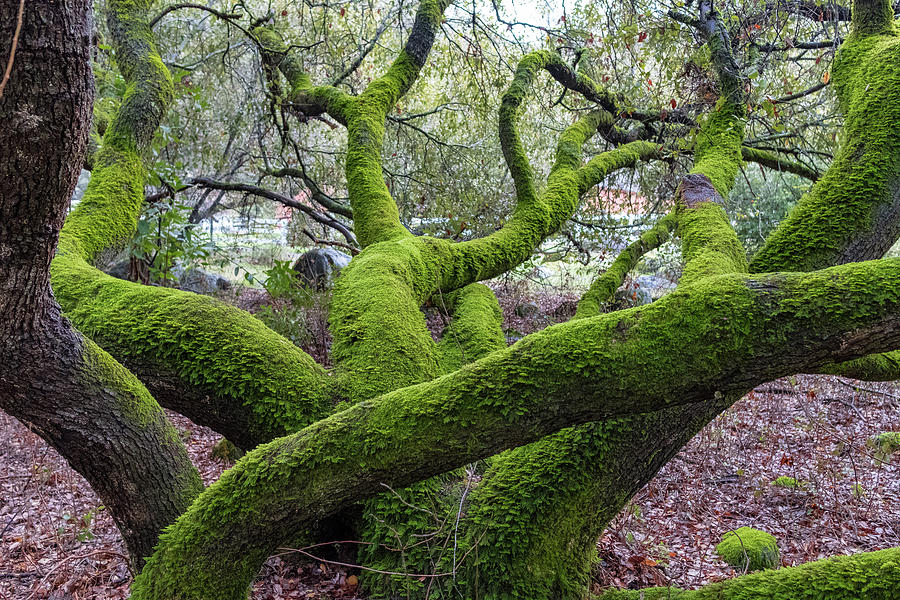 Branches Photograph - Big Green by Robin Mayoff