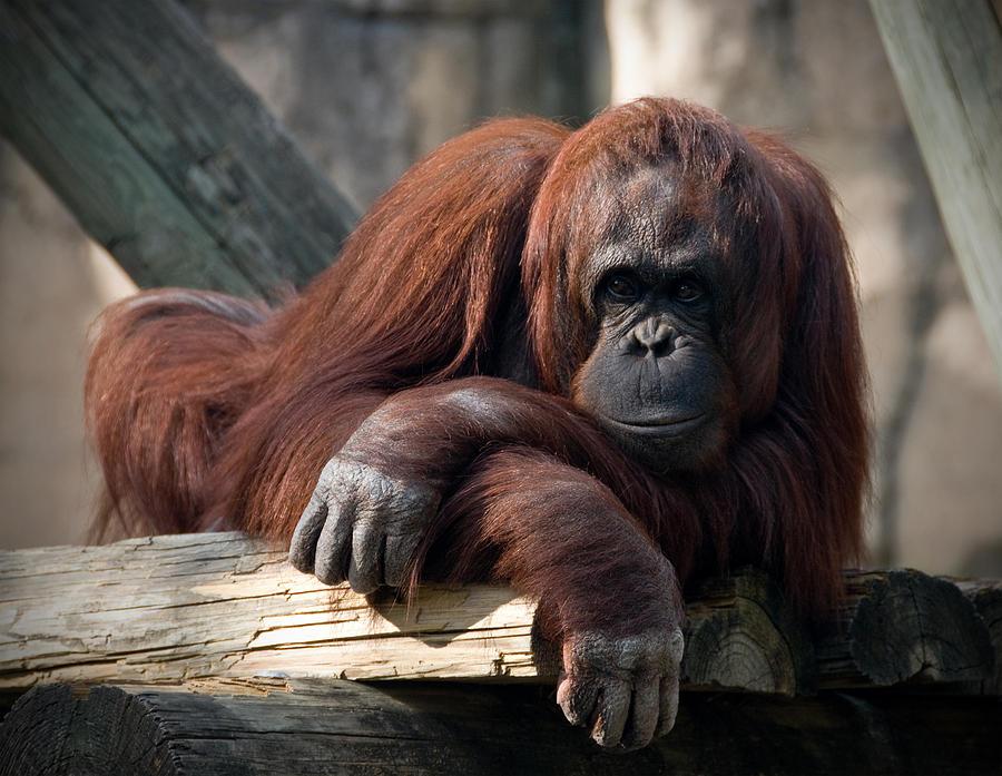 Orangutang Photograph - Big Hands by Steven Sparks