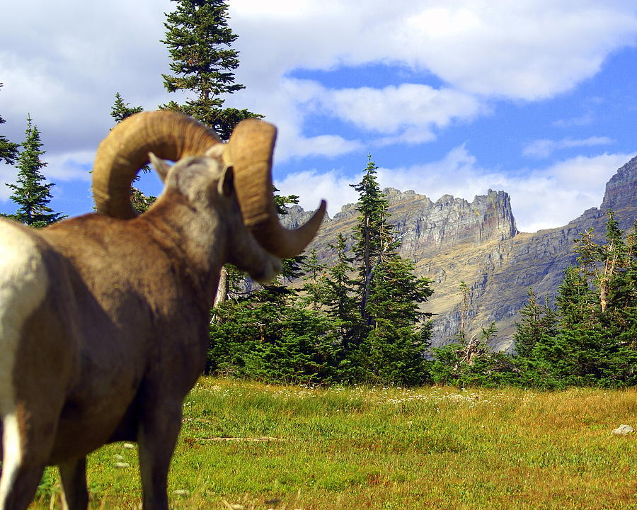 Glacier National Park Photograph - Big Horn 3 by Marty Koch