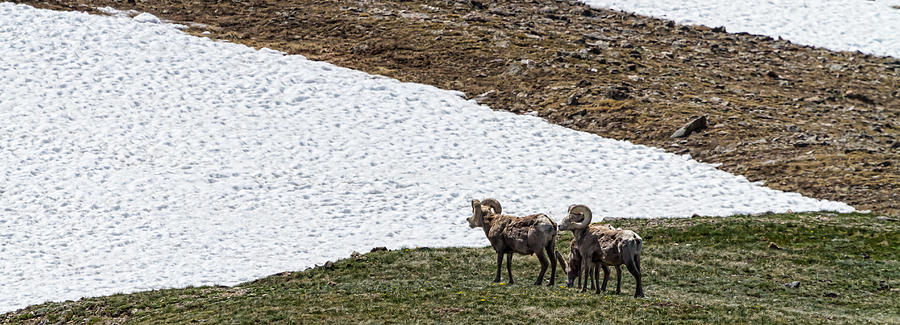 Big Horn Sheep In The High Elevation Photograph