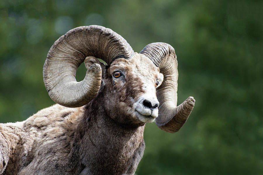 Big Horn Sheep by Scott Read