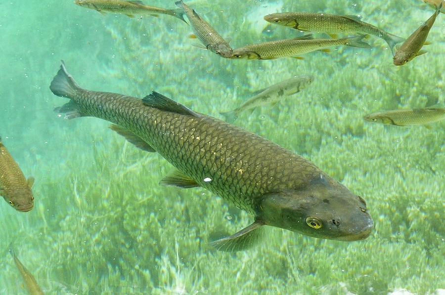 Fish Photograph - Big Lake Fish by Olga Kurygina