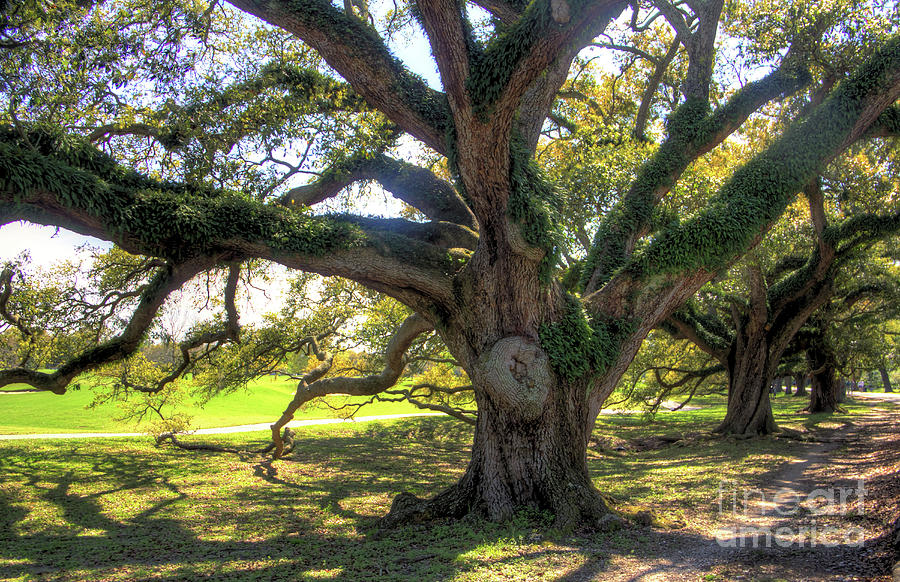Live Oak Photograph - Big Live Oak by James Foshee