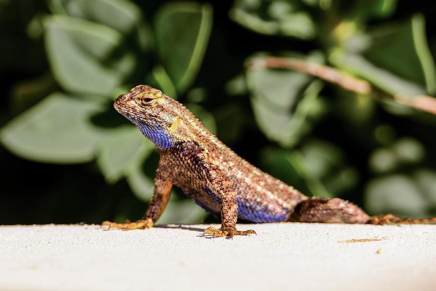 Lizard In My Backyard big lizard in my backyard photographthomas morris