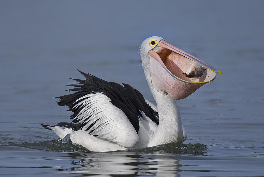 Pelican Photograph - Big Lunch by C.s.tjandra