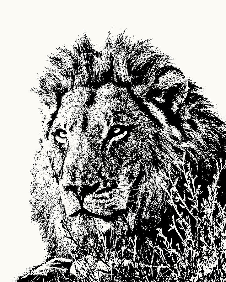 Big Male Lion Portrait by Scotch Macaskill