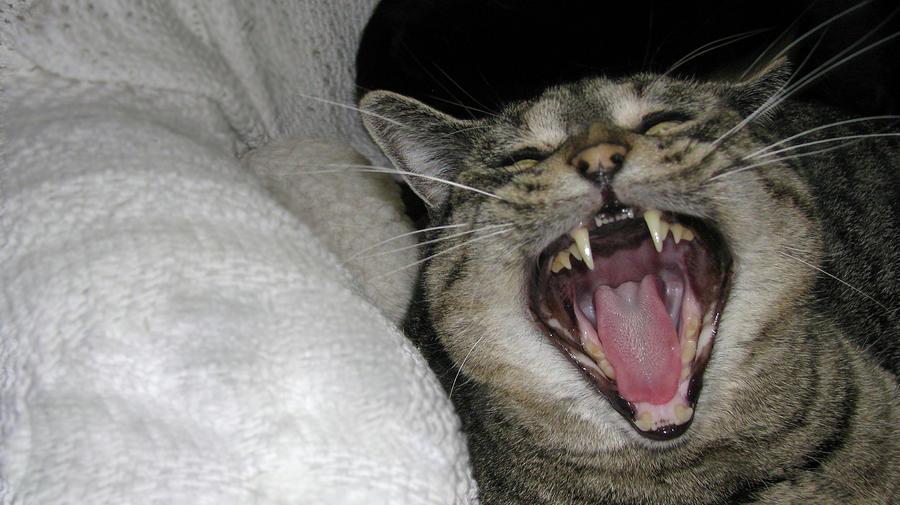 Cat Photograph - Big Mew by Nancy Morrison