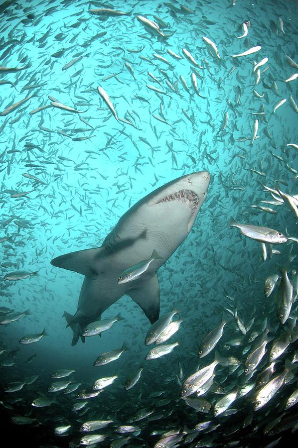 Vertical Photograph - Big Raggie Swims Through Baitfish Shoal by Jean Tresfon