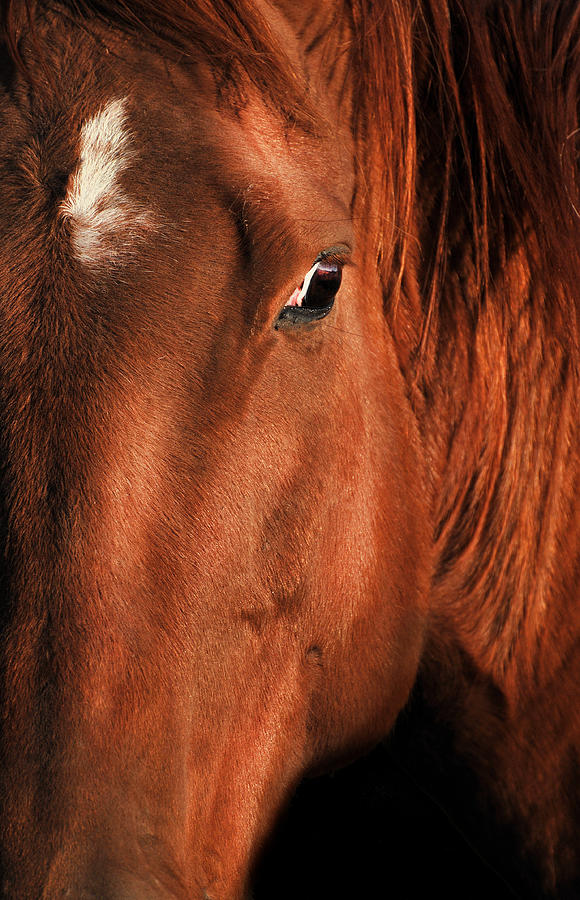 Big Red Horse Photograph - Big Red The Horse by Georgiana Romanovna