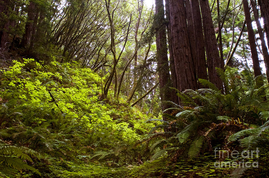 Big Sur Red woods by Gary Brandes