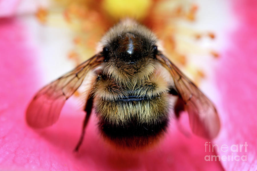 Bumble Bee Photograph - Big Time Bee Close Up by Terry Elniski