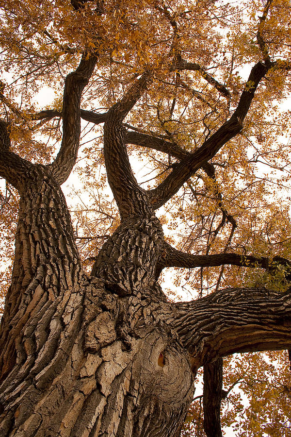 Giant Photograph - Big Tree by James BO  Insogna