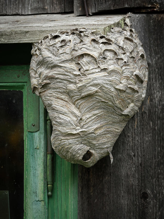 Closeup Photograph - Big Wasps Nest On A Wooden Wall Beside A Window by Stefan Rotter