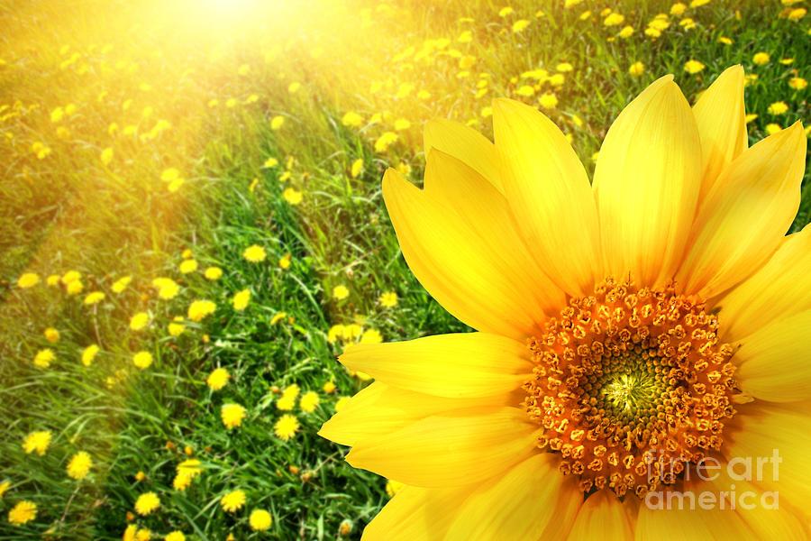 Background Photograph - Big Yellow Sunflower  by Sandra Cunningham