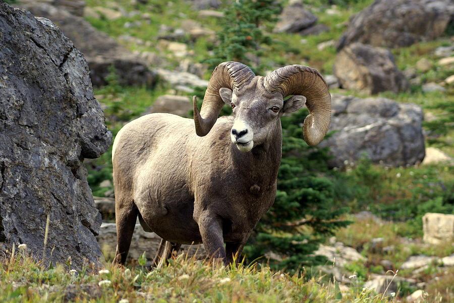 Big Horn Sheep Photograph - Bighorn 1 by Marty Koch