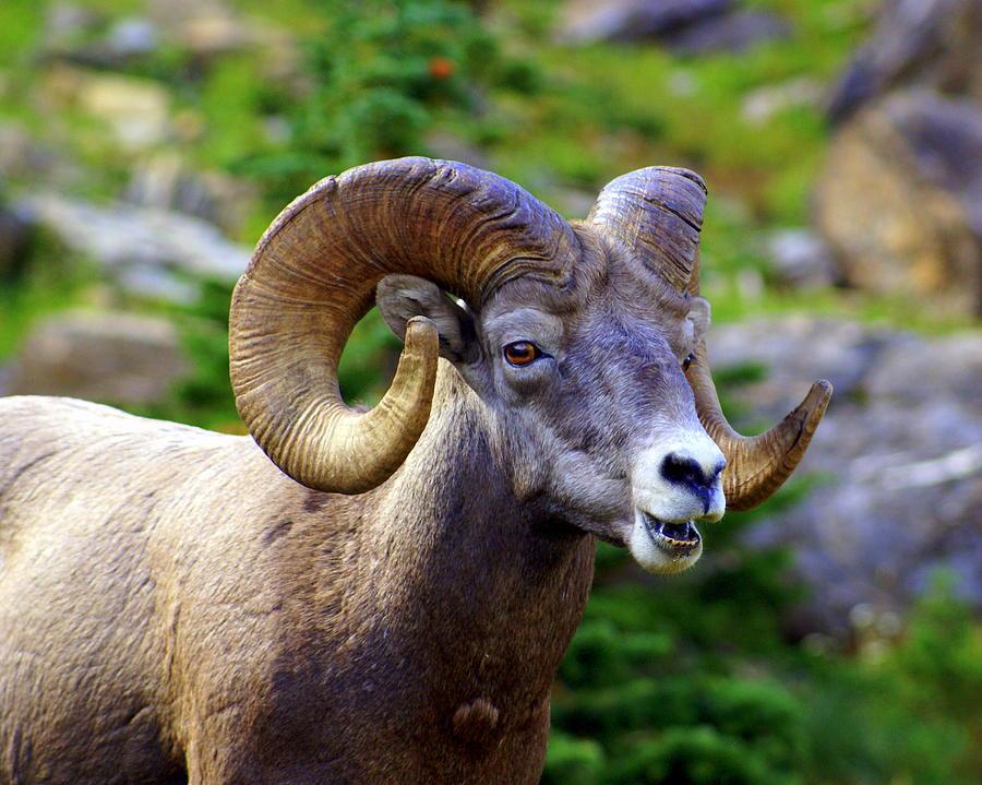 Big Horn Sheep Photograph - Bighorn 2 by Marty Koch