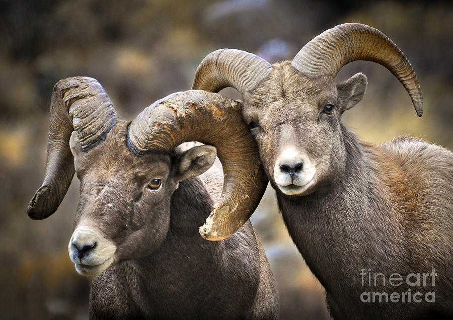 Bighorn Sheep Photograph - Bighorn Brothers by Kevin Munro