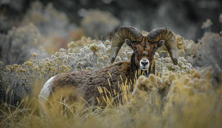Bighorn in Sage by Jason Brooks