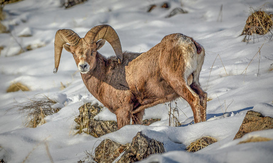 Bighorn in the snow by Jason Brooks