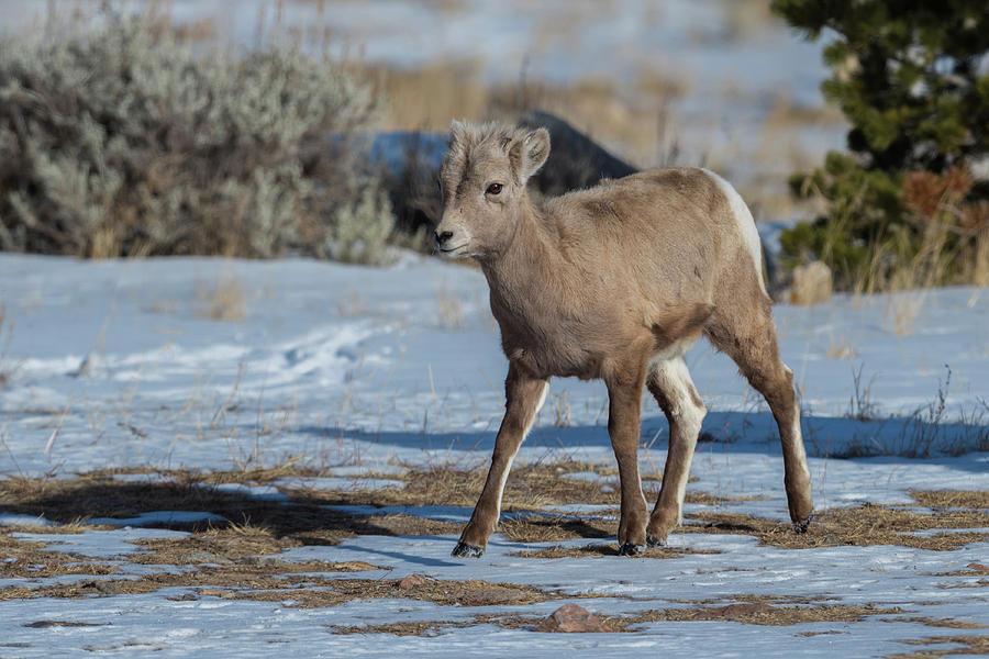 Bighorn Photograph - Bighorn Lamb 2 by Bill Sincavage