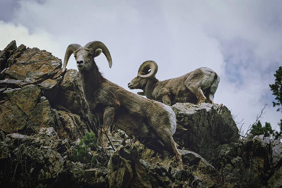 Bighorn Pair by Jason Coward