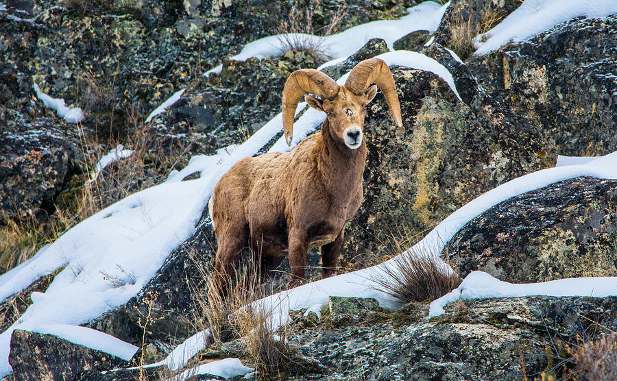 Bighorn Sheep Photograph - Bighorn Ram 3 by Jason Brooks
