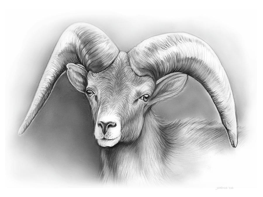 Bighorn Ram Drawing