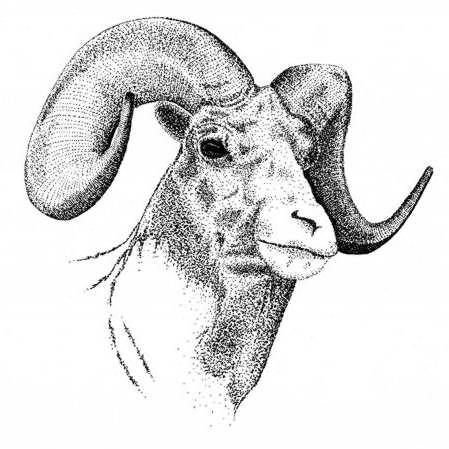 Long horn sheep coloring pages ~ Bighorn Sheep Drawing by Graham Wiatt