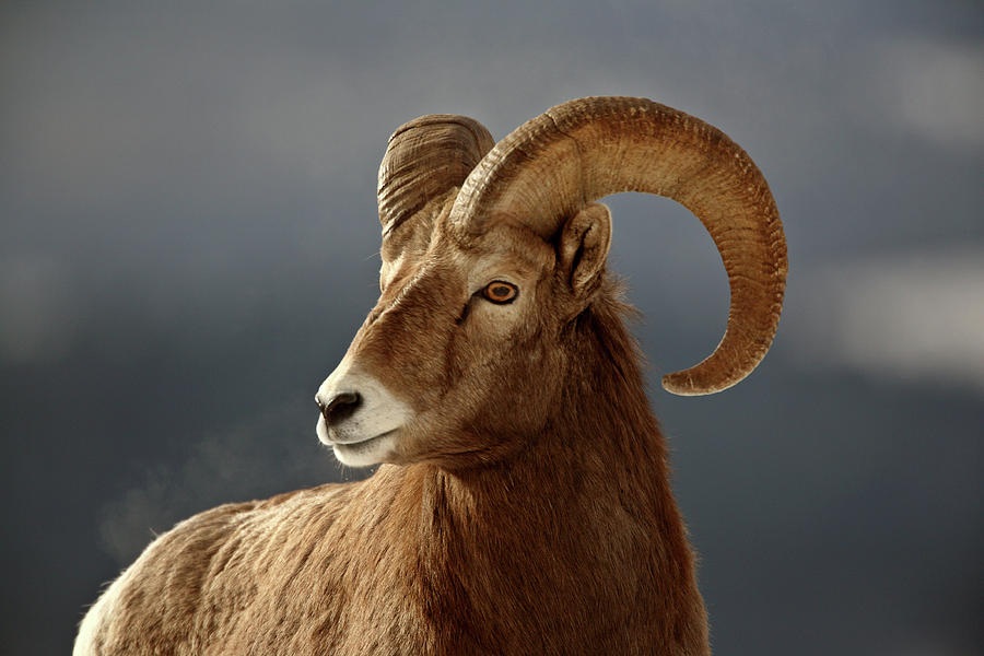 Bighorn Sheep In Winter Digital Art