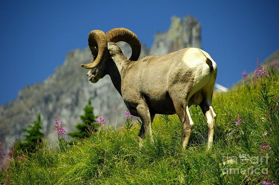 Bighorn Sheep Photograph - Bighorn Sheep by Marc Bittan
