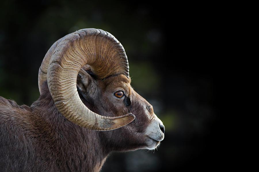 Bighorn Sheep Profile Photograph by Bill Cubitt