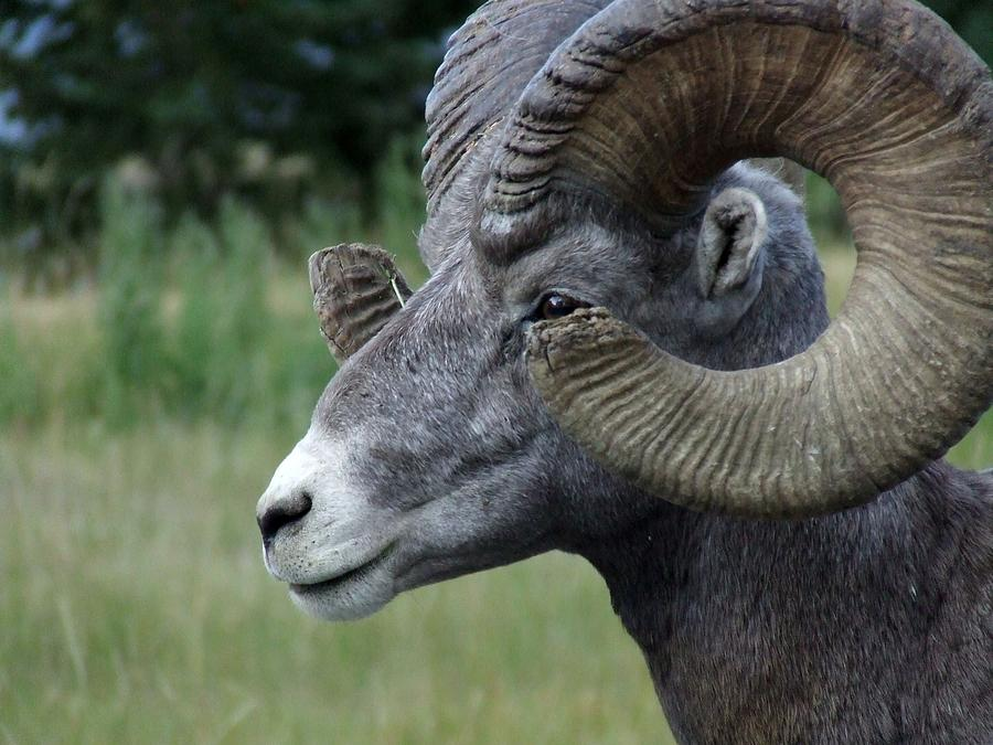 Wildlife Photograph - Bighorned Ram by Tiffany Vest