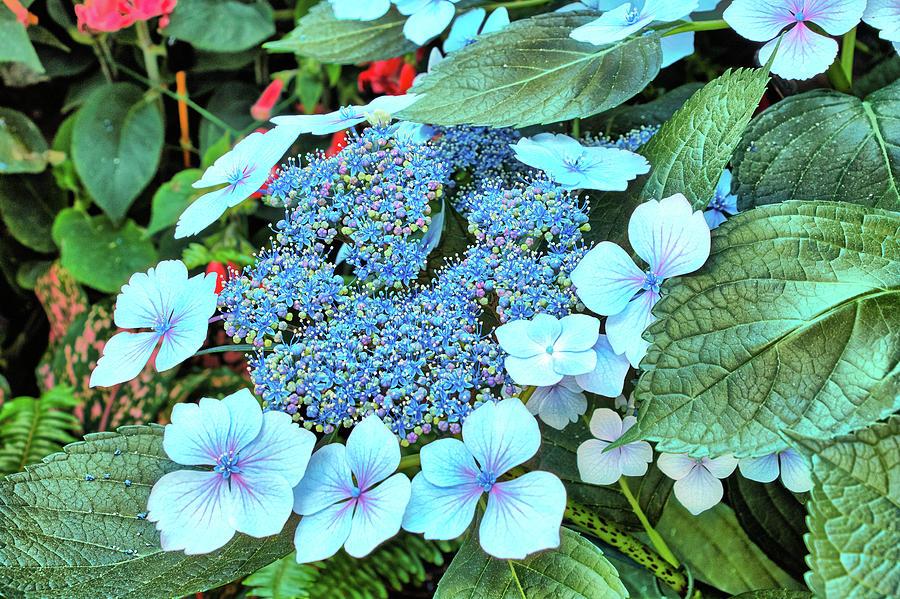 Bigleaf Hydrangea Photograph - Bigleaf Hydrangea by Richard Goldman