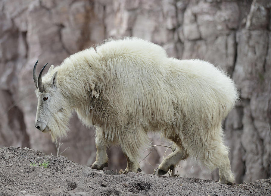 Billy Photograph - Billy Goats Gruff by Whispering Peaks Photography