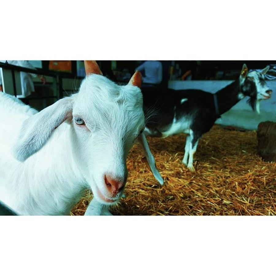 Farm Photograph - #billygoat #farm #sussex #animals by Natalie Anne