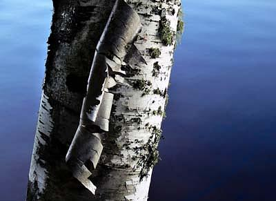 Birch Photograph by Alastair  MacKay