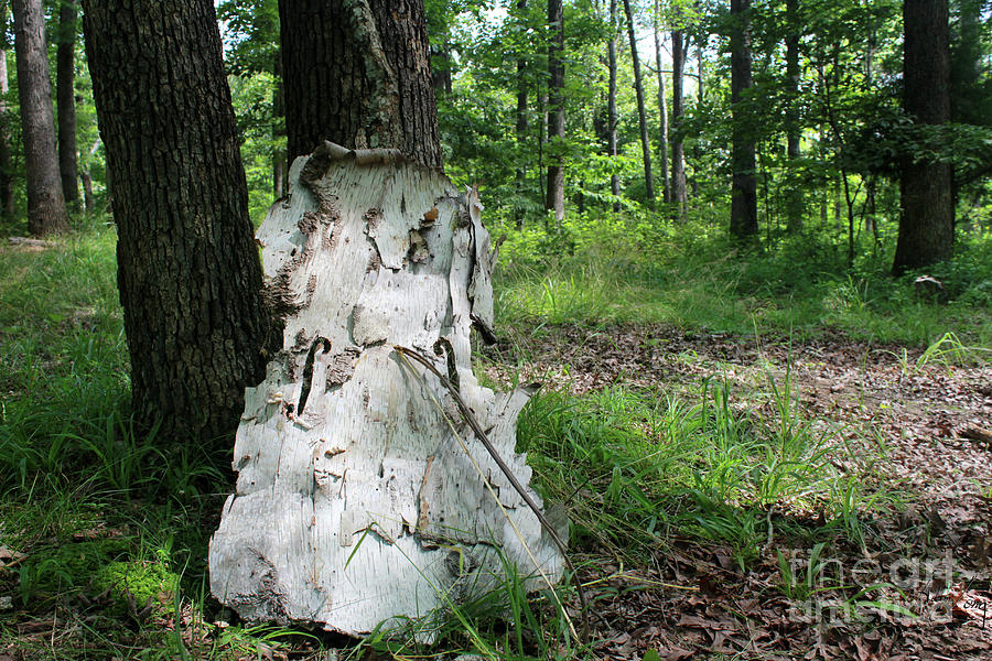 Watch Me Go Birch Bark Cello In The Forest Photograph