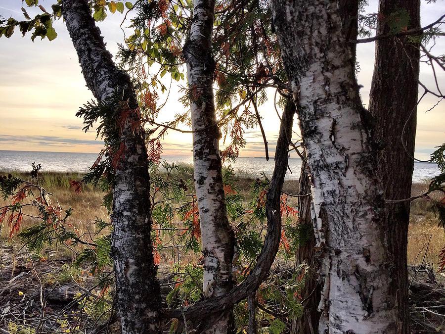 Birch Trees Photograph - Birch sunset by Diane Sleger