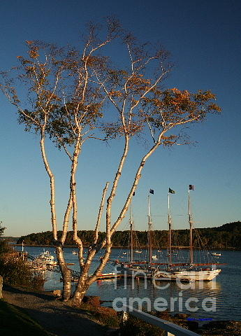 Birch Tree Digital Art - Birch Tree By The Harbor by Linda Jackson