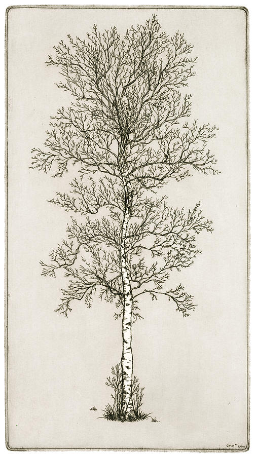 Charles Harden Drawing - Birch Tree by Charles Harden