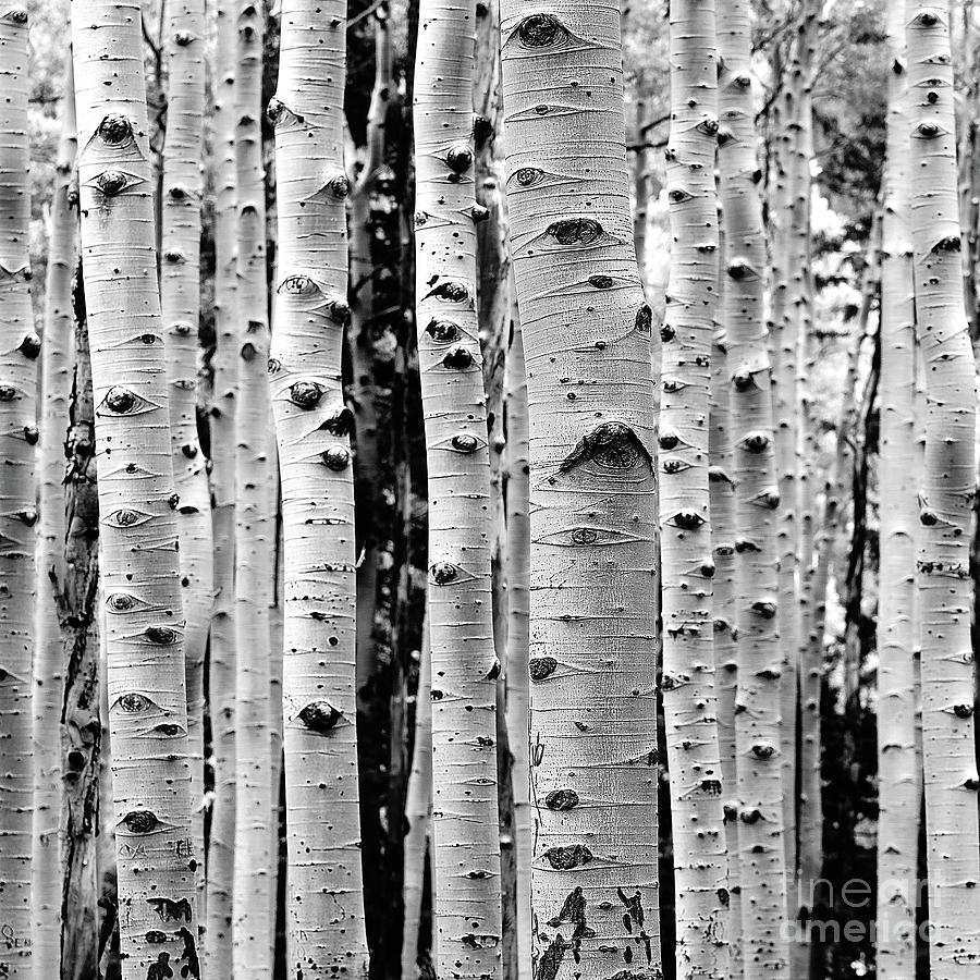 Birch Photograph - Birch Tree Forest by Phil Perkins