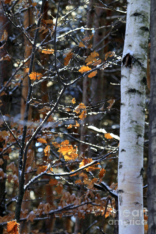 Birch Photograph - Birch Tree In Winter by Kathy DesJardins
