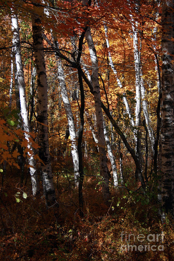 Fall Photograph - Birch Trees In The Fall by Kathy DesJardins