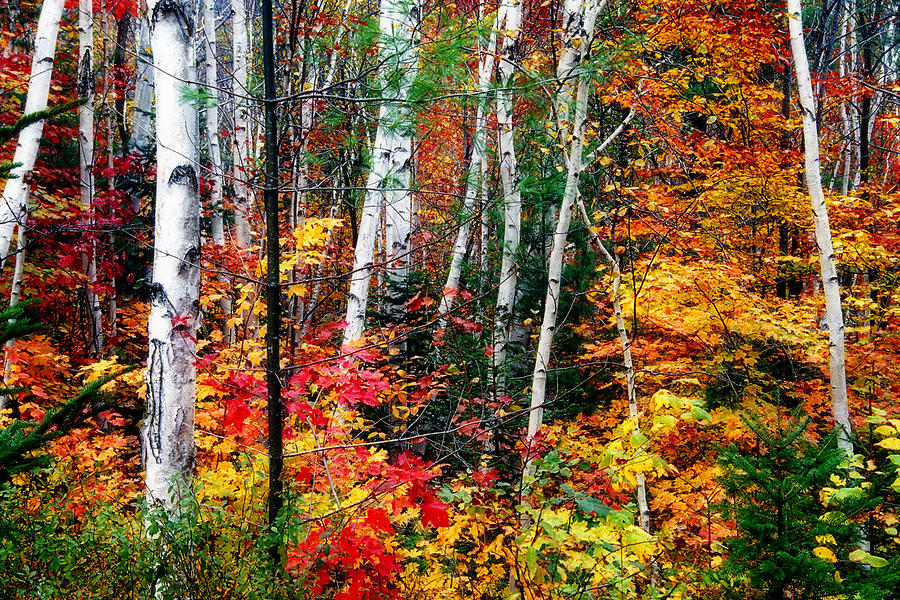 Birch Trees With Colorful Fall Foliage Photograph By