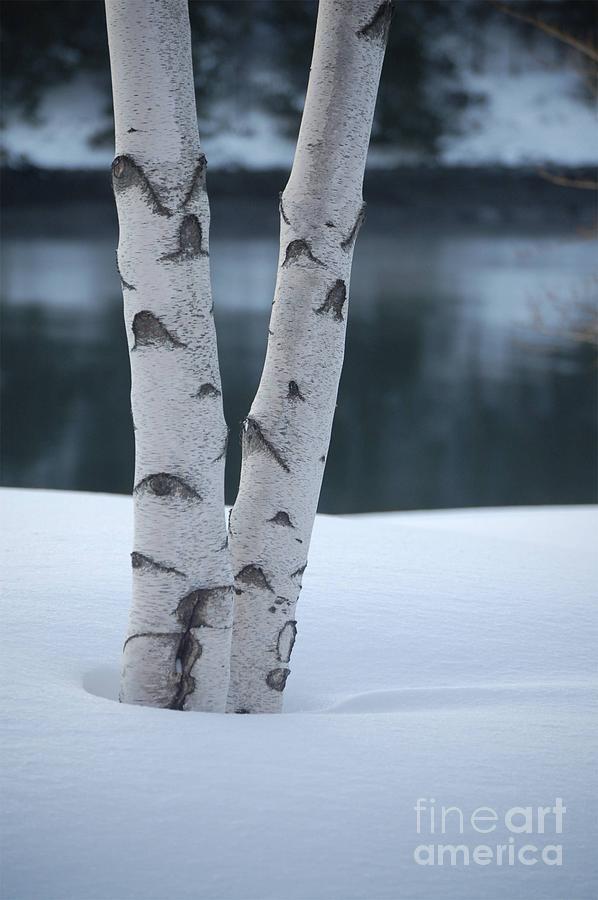 Birch Photograph - Birch Twins In Snow by Faith Harron Boudreau
