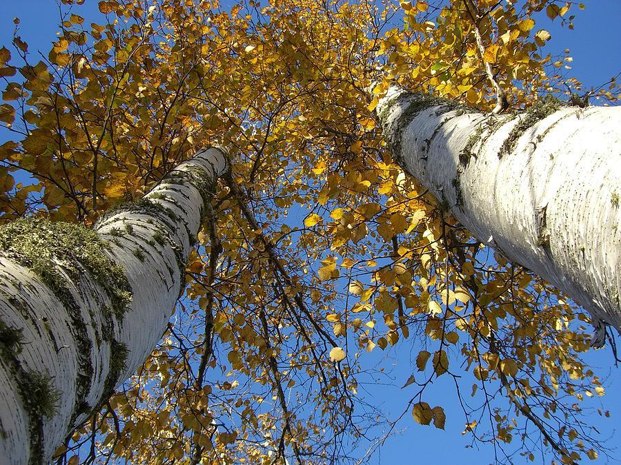 Birch Tree Photograph - Birch Twins by Jessica Yudis