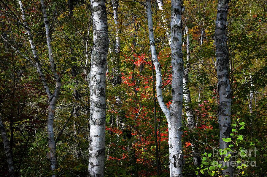 Birch Photograph - Birches by Elena Elisseeva