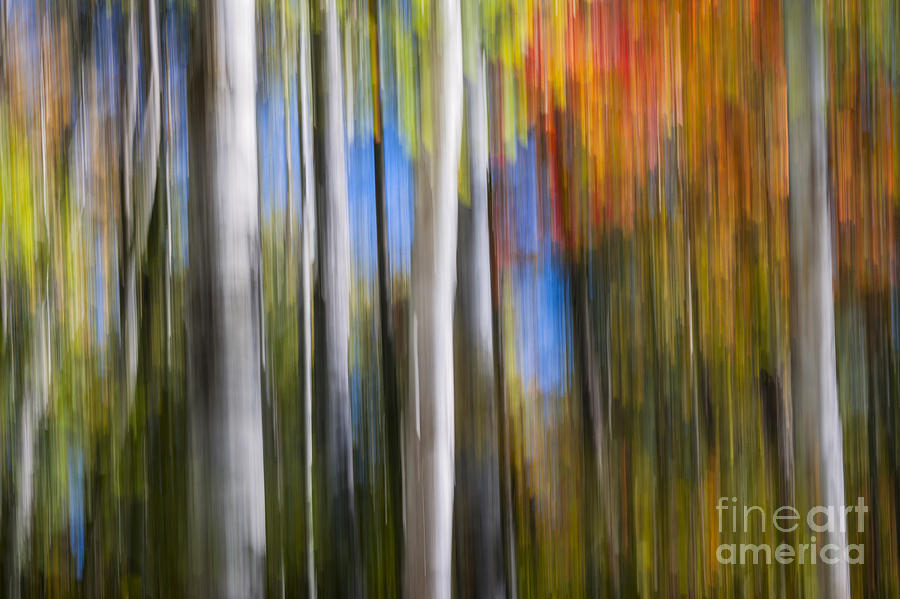 Abstract Photograph - Birches In Autumn Forest by Elena Elisseeva