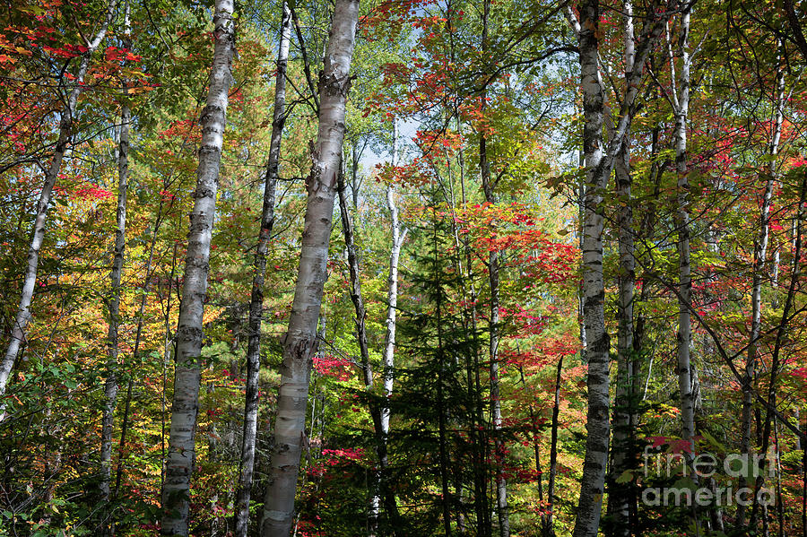 Forest Photograph - Birches In Fall Forest by Elena Elisseeva