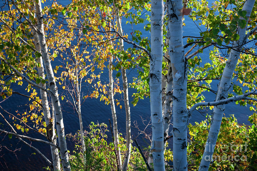 Trees Photograph - Birches On Lake Shore by Elena Elisseeva